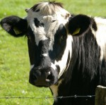 Killer Cows, a blog about the dangers of cattle